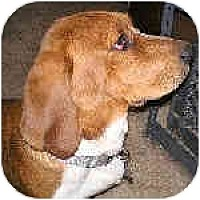 Adopt A Pet :: Conan - Phoenix, AZ