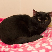 Domestic Shorthair Cat for adoption in Chicago, Illinois - Batman