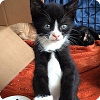Adopt A Pet :: Allegra - Brooklyn, NY
