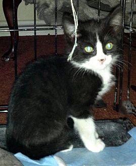 Domestic Shorthair Kitten for adoption in Burbank, California - Easy