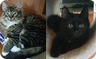 Domestic Mediumhair Cat for adoption in Gainesville, Virginia - Nellie and Naomi