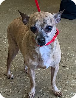 Chihuahua Dog for adoption in Plano, Texas - Ricky