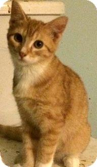 Calico Kitten for adoption in Savannah, Georgia - Sears