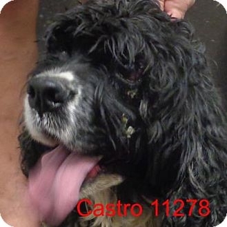 Cocker Spaniel Dog for adoption in Manassas, Virginia - Castro