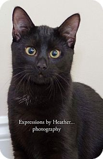 Domestic Shorthair Kitten for adoption in Mount Laurel, New Jersey - Morpheus