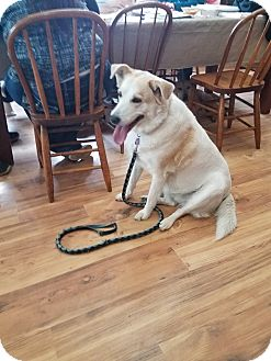 Labrador Retriever/Corgi Mix Dog for adoption in Walthill, Nebraska - Nala