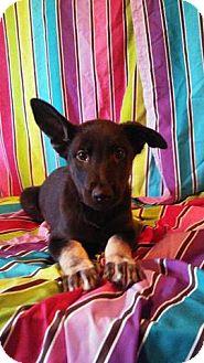 German Shepherd Dog/Labrador Retriever Mix Puppy for adoption in Houston, Texas - Sunny