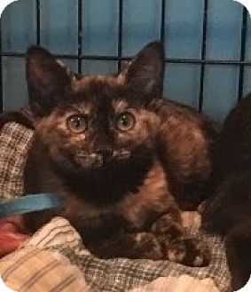 Calico Kitten for adoption in Barrington, New Jersey - Callie