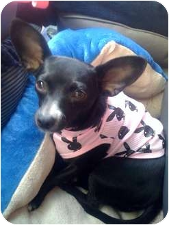 Chihuahua/Terrier (Unknown Type, Small) Mix Dog for adoption in Fowler, California - Lisa