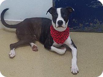 American Bulldog Dog for adoption in Miami, Florida - Potter