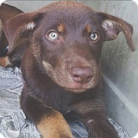 Adopt A Pet :: Cocoa - Pompton Lakes, NJ