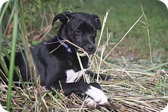 Labrador Retriever Mix Puppy for adoption in Sagaponack, New York - Macy
