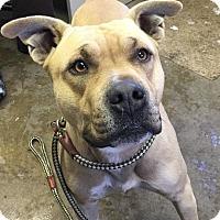 Adopt A Pet :: THOR - Cadiz, OH