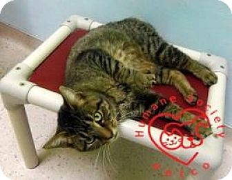 Domestic Shorthair Cat for adoption in Janesville, Wisconsin - Camilla
