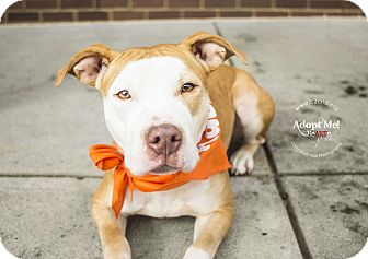 American Pit Bull Terrier/Pit Bull Terrier Mix Dog for adoption in Charlotte, North Carolina - Shadow