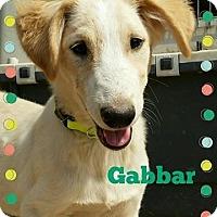 Adopt A Pet :: Gabbar*Indian Pariah Dog* - Monroe, NJ