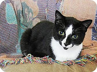 Domestic Shorthair Cat for adoption in Orlando, Florida - Clarke