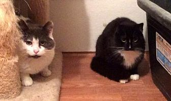 Domestic Mediumhair Cat for adoption in Trexlertown, Pennsylvania - Sylvia - Barn Cat