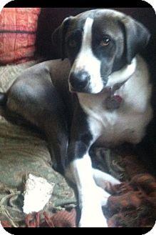 Pointer/Labrador Retriever Mix Dog for adoption in Spring, Texas - Sandie