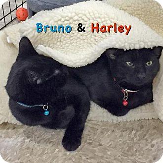 Domestic Mediumhair Cat for adoption in Flint HIll, Virginia - Bruno