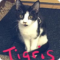 Adopt A Pet :: Miss Tigris - Fishers, IN