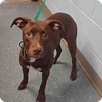 Adopt A Pet :: Hershey Kiss - St. Cloud, FL