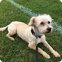 Adopt A Pet :: BENJI : ready for adoption - Sterling, MA