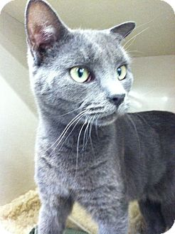 Russian Blue Cat for adoption in Riverhead, New York - Shelton