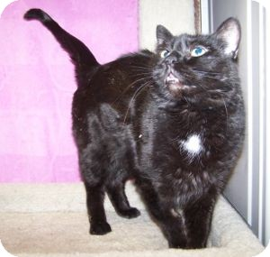 Domestic Shorthair Cat for adoption in Colorado Springs, Colorado - Michelle (Missy)