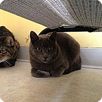 Adopt A Pet :: Amber - Lancaster, MA