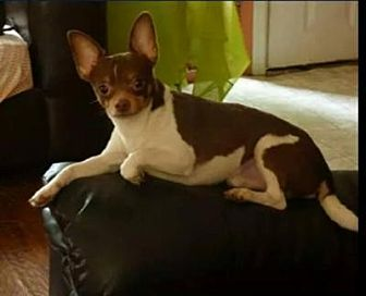 Chihuahua Mix Dog for adoption in Fairmont, West Virginia - Chip