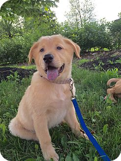 Labrador Retriever/Golden Retriever Mix Puppy for adoption in Hatifeld, Pennsylvania - Turbo