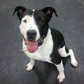 Mastiff/Pit Bull Terrier Mix Dog for adoption in Tucson, Arizona - MJ