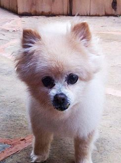 Pomeranian Dog for adoption in Norman, Oklahoma - Patrick