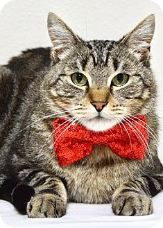 Domestic Shorthair Cat for adoption in Dublin, California - Sergio