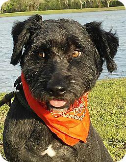 Wheaten Terrier/Wirehaired Fox Terrier Mix Dog for adoption in sommerville, Massachusetts - Arthur - very sweet boy!