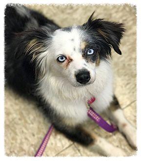 Australian Shepherd/Papillon Mix Dog for adoption in Los Alamitos, California - Orbit