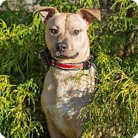 Adopt A Pet :: Garfunkel - New Albany, OH