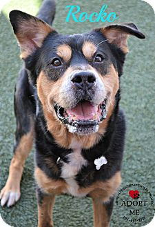 Rottweiler Mix Dog for adoption in Youngwood, Pennsylvania - Rocko