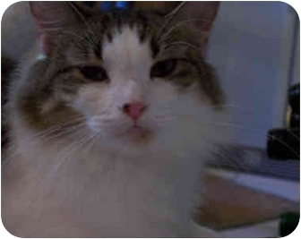 Maine Coon Cat for adoption in Elkton, Maryland - Allie