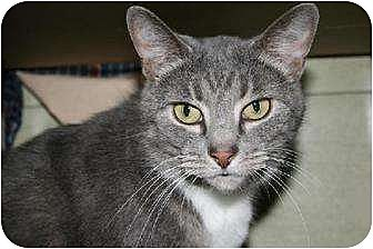 Domestic Shorthair Cat for adoption in Canal Winchester, Ohio - Betty Boop