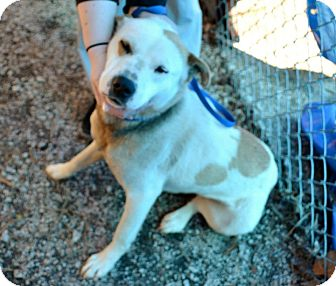 Collie/Australian Cattle Dog Mix Dog for adoption in Upper Saddle River, New Jersey - Lucy