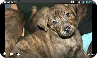 Plott Hound/Boxer Mix Puppy for adoption in North Brunswick, New Jersey - Maui