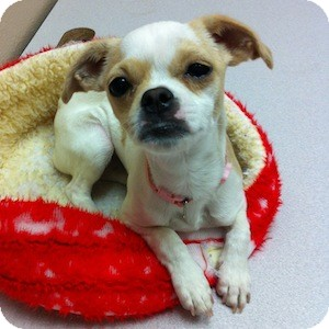 Chihuahua/Pug Mix Dog for adoption in Gilbert, Arizona - Isabelle