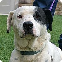 Adopt A Pet :: Condor - white settlment, TX