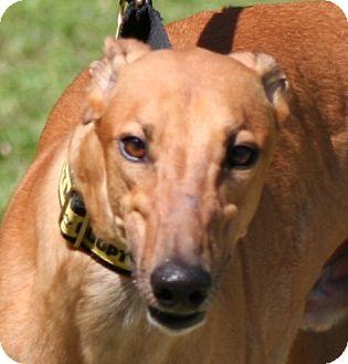 Greyhound Dog for adoption in West Palm Beach, Florida - Diablo