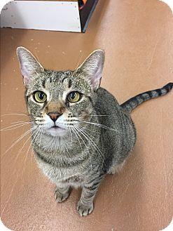 Domestic Shorthair Cat for adoption in Blasdell, New York - Leslie