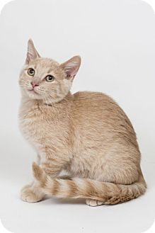 Domestic Shorthair Kitten for adoption in Lombard, Illinois - Nigel