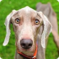 Adopt A Pet :: Domino - Birmingham, AL