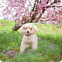 Adopt A Pet :: Honey Poodle - Seattle c/o Kingston 98346/ Washington State, WA
